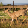 White Tailed Deer, (Odocoileus virginianus), Two Harbors, MN